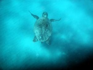 Zakynthos, teknős a vízben úszik