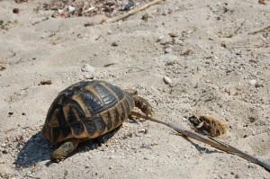 Lefkada, teknős